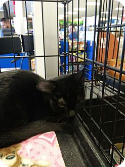 Domestic Shorthair Kitten for adoption in Avon, Ohio - Jana