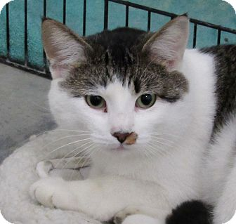 Domestic Shorthair Cat for adoption in Grinnell, Iowa - Lloyd