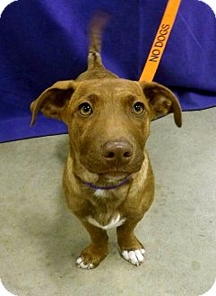 Terrier (Unknown Type, Medium)/Chihuahua Mix Puppy for adoption in Detroit, Michigan - Kala-Adopted!
