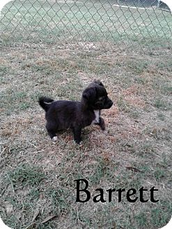 Dachshund/Chihuahua Mix Puppy for adoption in Ozark, Alabama - Barrett