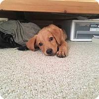 Adopt A Pet :: Pebbles - MCLEAN, VA
