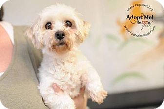 Maltese Dog for adoption in Liberty, Missouri - Anna