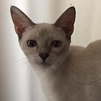 Adopt A Pet :: Ashley Blue - Glendale, AZ
