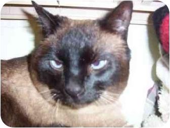 Siamese Cat for adoption in San Diego/North County, California - Kato