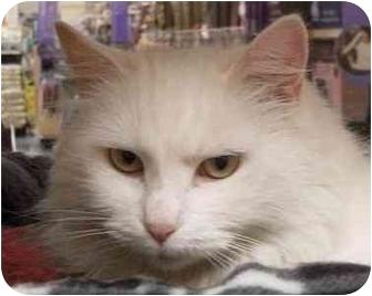 Domestic Longhair Cat for adoption in Upper Marlboro, Maryland - REANNA