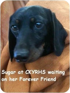 Dachshund Dog for adoption in Lancaster, Kentucky - Sugar