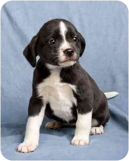 Beagle Mix Puppy for adoption in Anna, Illinois - PRISCILLA