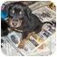 Photo 1 - Miniature Pinscher/Terrier (Unknown Type, Medium) Mix Puppy for adoption in Ephrata, Pennsylvania - Terrier mix 6