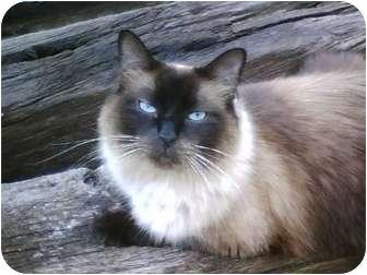 Ragdoll Cat for adoption in Salamanca, New York - Levi