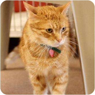 Domestic Shorthair Cat for adoption in Denver, Colorado - Scooby
