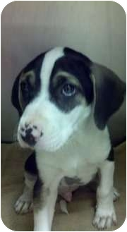 Beagle/Hound (Unknown Type) Mix Puppy for adoption in Niceville, Florida - Buster