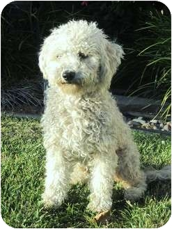 Poodle (Miniature) Mix Dog for adoption in Santa ana, California - DOLLY