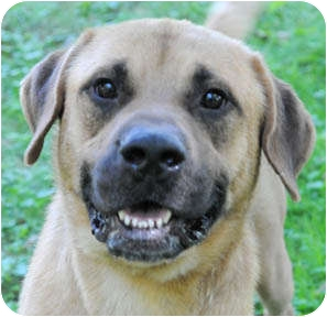 Great Dane/Rhodesian Ridgeback Mix Dog for adoption in Chicago, Illinois - King