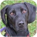 Labrador Retriever/Beagle Mix Dog for adoption in Eatontown, New Jersey - Finnley
