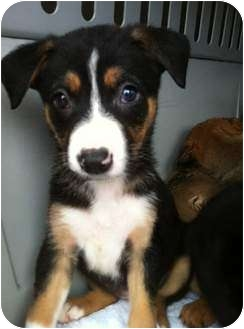 Shepherd (Unknown Type)/Border Collie Mix Puppy for adoption in PORTLAND, Maine - Prudence