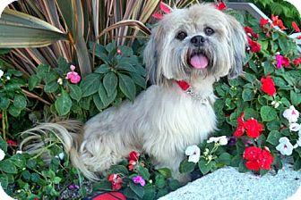 Lhasa Apso Dog for adoption in Los Angeles, California - CARAMEL