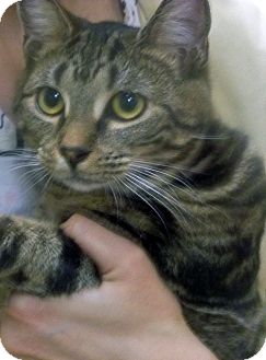 Domestic Shorthair Kitten for adoption in Secaucus, New Jersey - Sherry