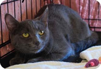 Domestic Shorthair Kitten for adoption in Merrifield, Virginia - Rummy