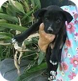 Labrador Retriever/Boxer Mix Puppy for adoption in Santee, California - Jessy