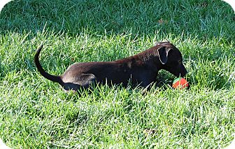Labrador Retriever/Feist Mix Puppy for adoption in Ijamsville, Maryland - Kit Kat