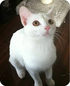 Domestic Shorthair Cat for adoption in Riverside, California - Marshmallow