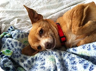 Chihuahua Dog for adoption in Burbank, California - Olive- so tiny and sweet!