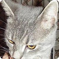 Adopt A Pet :: Sherlock - Kensington, MD