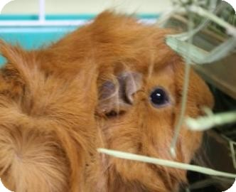 Guinea Pig for adoption in West Des Moines, Iowa - Ginger