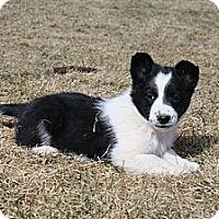 Adopt A Pet :: G-Puppies (F) - Salt Lake City, UT