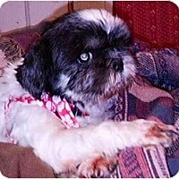Adopt A Pet :: Ivy - Mays Landing, NJ