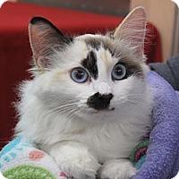 Adopt A Pet :: Bonnie Blue - Port Republic, MD