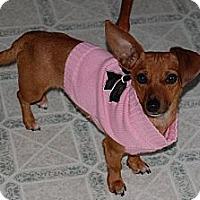 Adopt A Pet :: Velvet - Marlton, NJ