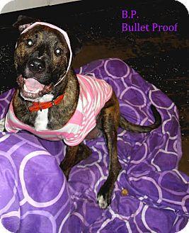 Plott Hound/Pit Bull Terrier Mix Dog for adoption in Plainfield, Illinois - Bulletproof