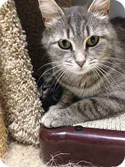 Domestic Shorthair Cat for adoption in Brooklyn, New York - XPost-Riley
