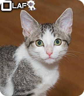 Domestic Shorthair Kitten for adoption in River Edge, New Jersey - Olaf