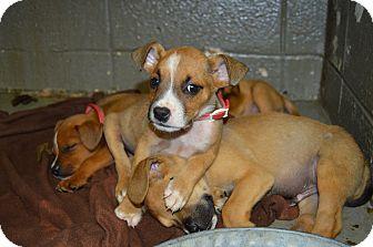 Hound (Unknown Type) Mix Puppy for adoption in Henderson, North Carolina - Atlas Pups