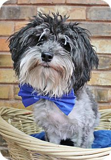 Poodle (Miniature)/Schnauzer (Miniature) Mix Dog for adoption in Benbrook, Texas - Howie