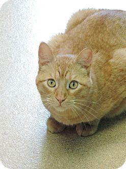 Domestic Shorthair Cat for adoption in Brookings, South Dakota - Stanley