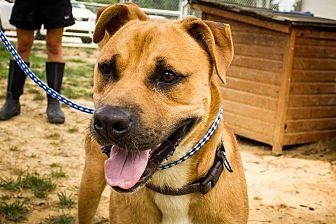 Boxer Mix Dog for adoption in Jasper, Alabama - Boxer Mix