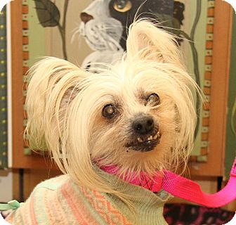 Chinese Crested Mix Dog for adoption in Marietta, Ohio - Madam Butterfly (Spayed)