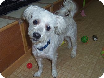 Maltese/Poodle (Miniature) Mix Dog for adoption in Medford, Wisconsin - ELI