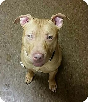 American Pit Bull Terrier Mix Dog for adoption in Albion, New York - Waldo