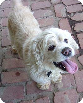 Cocker Spaniel Dog for adoption in Sacramento, California - Emily-Adoption Pending!