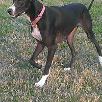 Great Dane Dog for adoption in Franklin, Tennessee - Nikki