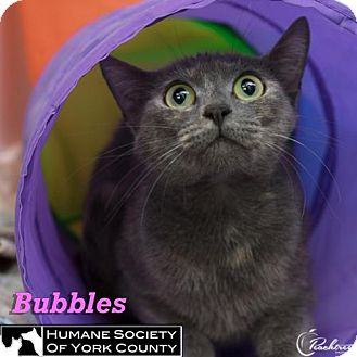 Domestic Mediumhair Cat for adoption in Fort Mill, South Carolina - Bubbles