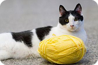 Domestic Shorthair Cat for adoption in Freeport, New York - Dexter