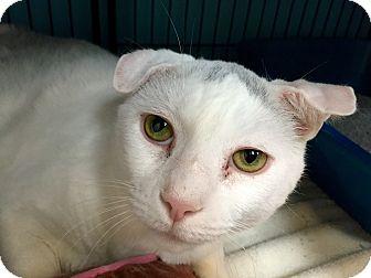 Domestic Shorthair Cat for adoption in Wilmington, Delaware - Judge