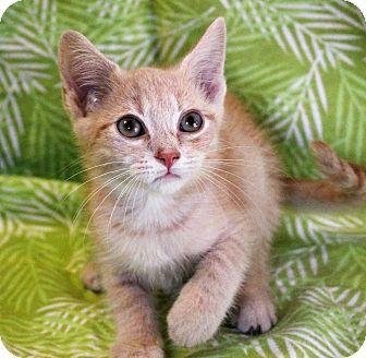 Domestic Shorthair Kitten for adoption in Greensboro, North Carolina - Dean