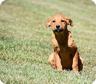 Labrador Retriever/Golden Retriever Mix Puppy for adoption in Groton, Massachusetts - Violet