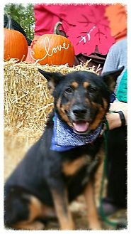 German Shepherd Dog Mix Dog for adoption in Bedford, New York - Rocky